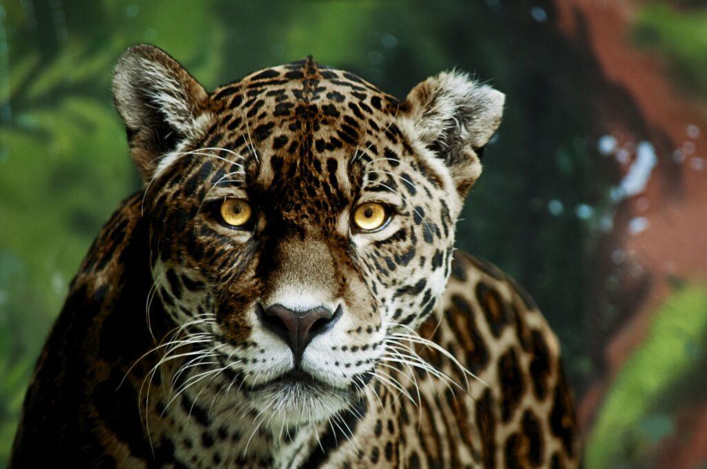 wild jaguar calling illustrating jaguar archetype power animal